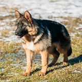 Beautiful Young Brown German Shepherd Puppy Dog Stock Photos