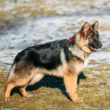 Beautiful Young Brown German Shepherd Puppy Dog Royalty Free Stock Images