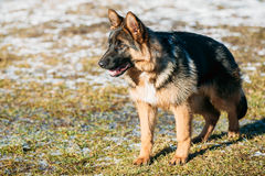 Beautiful Young Brown German Shepherd Puppy Dog Royalty Free Stock Photography