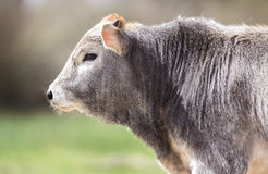 Beautiful Young Bull. A beautiful young bull is staring innocently Royalty Free Stock Images
