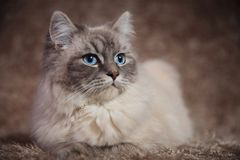 Beautiful young cat looks to side while lying on fur Stock Photography