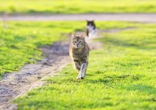 Beautiful young cat rapidly running through green spring meadow. Crossed his legs stock images