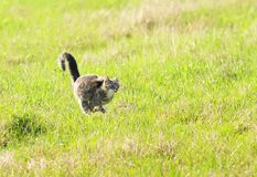 Beautiful young cat rapidly running through green spring meadow stock images