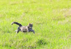 Beautiful young cat rapidly running through green spring meadow stock image