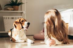 Beautiful young caucasian girl playing with her puppy beagle dog, sunny morning. On bedroom royalty free stock photo