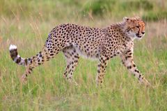 A beautiful young cheetah hunting at the masai Royalty Free Stock Photo