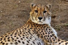 Young cheetah, South Africa Royalty Free Stock Photos