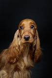 Beautiful young cocker spaniel Stock Photos