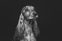Beautiful young cocker spaniel Royalty Free Stock Photography