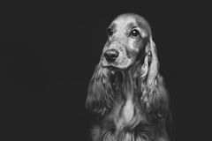 Beautiful young cocker spaniel Stock Image