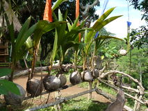 Beautiful young coconut plants grown directly from coconuts. Stock Photography