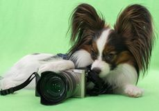 Beautiful young continental spaniel papillon with a camera on green background. Beautiful young continental spaniel papillon with a camera on a green background Royalty Free Stock Image