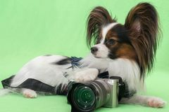 Beautiful young continental spaniel papillon with a camera on green background royalty free stock photos