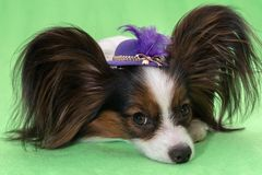 Beautiful young continental spaniel papillon in a hat with feather on a green background. Beautiful young continental spaniel papillon in a hat with a feather on stock image
