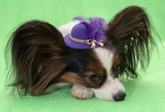 Beautiful young continental spaniel papillon in a hat with feather on a green background. Beautiful young continental spaniel papillon in a hat with a feather on Stock Photography