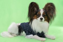 Beautiful young continental spaniel papillon in a tuxedo with butterfly on a green background. Beautiful young continental spaniel papillon in a tuxedo with a stock photos