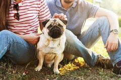 Young small breed dog with funny brown and black stains on face. Portrait of cute happy pug domestic doggy outdoors, walk in park. Beautiful young couple in stock photos
