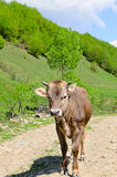Beautiful young cow Stock Images