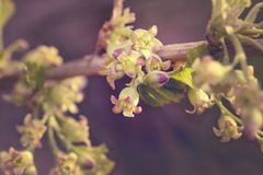 Beautiful young currant shoots with green flowers in the spring, details of the plant giving the berries during active growth in royalty free stock images