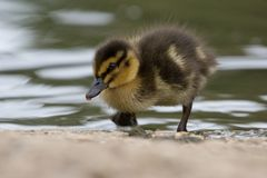 Beautiful Young Cute Mallard anas platyrhynchos Duckling Portr. Beautiful Young Cute Juvenile Mallard anas platyrhynchos Duckling Portrait Royalty Free Stock Photography