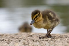 Beautiful Young Cute Mallard anas platyrhynchos Duckling Portr. Beautiful Young Cute Juvenile Mallard anas platyrhynchos Duckling Portrait Royalty Free Stock Image
