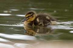 Beautiful Young Cute Mallard anas platyrhynchos Duckling Portr. Beautiful Young Cute Juvenile Mallard anas platyrhynchos Duckling Portrait Stock Images