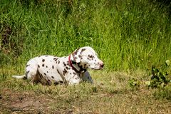 Beautiful young Dalmatian lying on the grass in the summer on a Sunny day royalty free stock photography