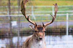 Beautiful young deer with big horns on the territory of the reserve. He is preparing for the harvest of his beautiful horn. Beautiful wildlife animals that stock images