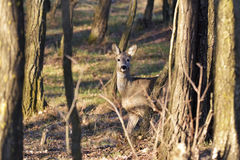 The Beautiful young deer in forest Cervidae Stock Images