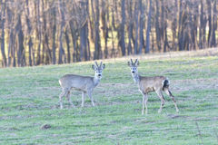 The Beautiful young deer in forest Cervidae Stock Image