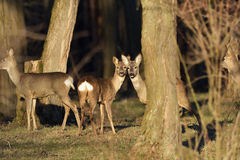 The Beautiful young deer in forest Cervidae Royalty Free Stock Images