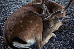 Beautiful young deer peacefully sleeping on a rocky surface Stock Photography