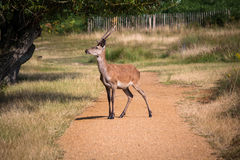 Beautiful young deer standning alone on the road Royalty Free Stock Image