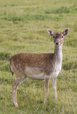 Beautiful young doe Royalty Free Stock Photo