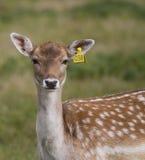 Beautiful young doe Stock Photo