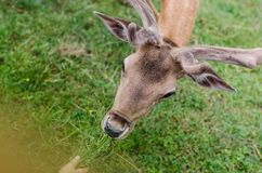 Beautiful young doe Royalty Free Stock Photography