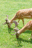 Beautiful young doe Stock Images