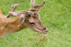 Beautiful young doe Royalty Free Stock Images