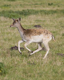 Beautiful young doe running Royalty Free Stock Images