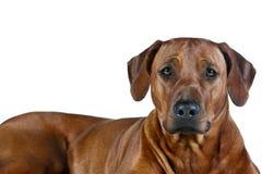 Beautiful young dog rhodesian ridgeback isolated on white Stock Photo