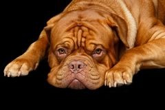Beautiful bordeaux dogue dog. Beautiful young dogue de bordeaux dog lying. studio shot on black background royalty free stock image
