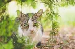 Beautiful young domestic cat is hiding in the shadow of the bush in the garden and look at the camera with worm sunlight. Beautiful young domestic cat is hiding Royalty Free Stock Photography