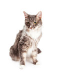 Beautiful Young Domestic Longhair Cat Sitting Stock Image