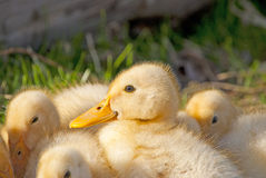 Beautiful young duck. Beautiful small ducks warming from the sun Stock Photos