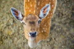 Beautiful young fallow deer Stock Image