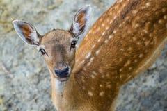 Beautiful young fallow deer Stock Photography