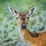 Beautiful young fallow deer Royalty Free Stock Photos