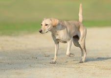 Beautiful young female dog. Walking royalty free stock photo
