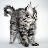 A beautiful young fluffy kitten Stock Photo