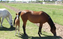 Beautiful Young Foal and Mare Royalty Free Stock Photography